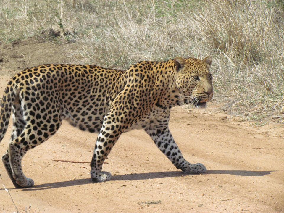 Leopard in Queen Elizabeth National Park